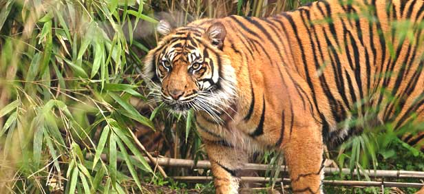 west-bengal-tiger